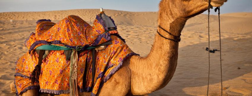 camello_india