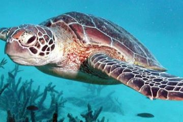 sea_turtle_green_island_AZ