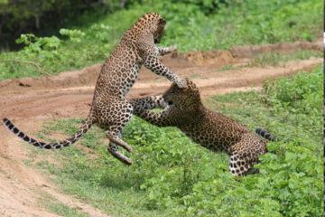 yala-np-leopard
