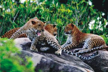 leopards-sri-lanka