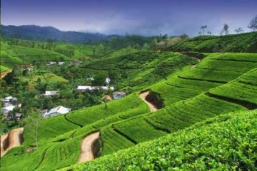 tea-estate_srilanka